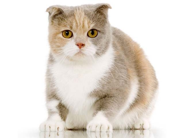 Small Cat Breed With Big Eyes