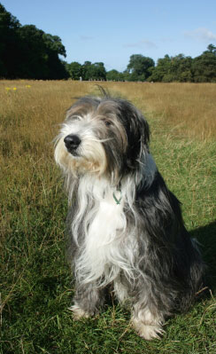 bearded collie park
