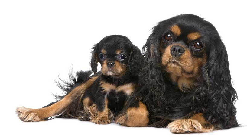 cavalier mum and puppy