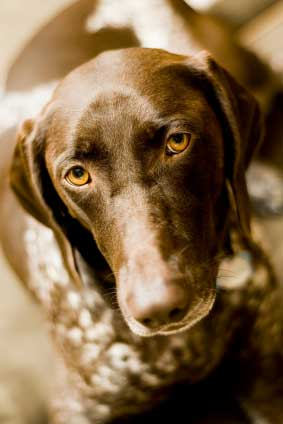 german shorthaired ponter