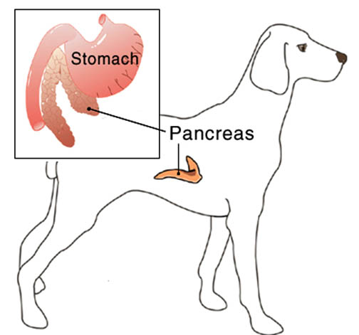Pancreas in dogs diagram