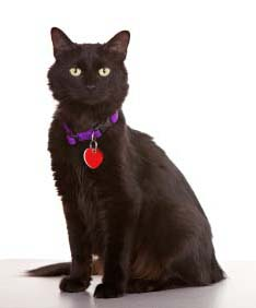 black-cat-with-collar-and-tag