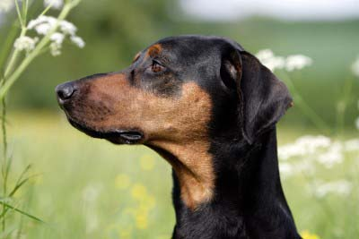 black dobermann head