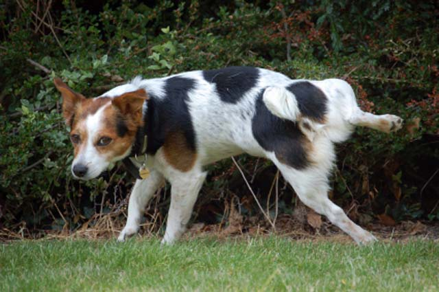 dog-terrier-urinating-in-bush