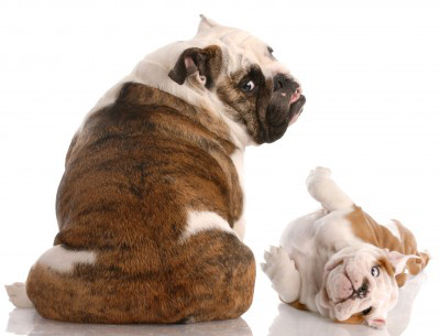 english-bulldog-rear