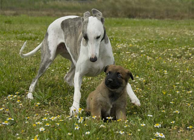 greyhound and puppy