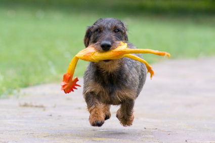 running dog with toy