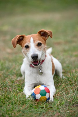 jack russell with ball