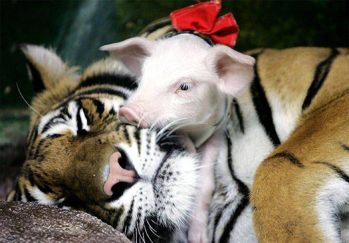 tiger with baby pig