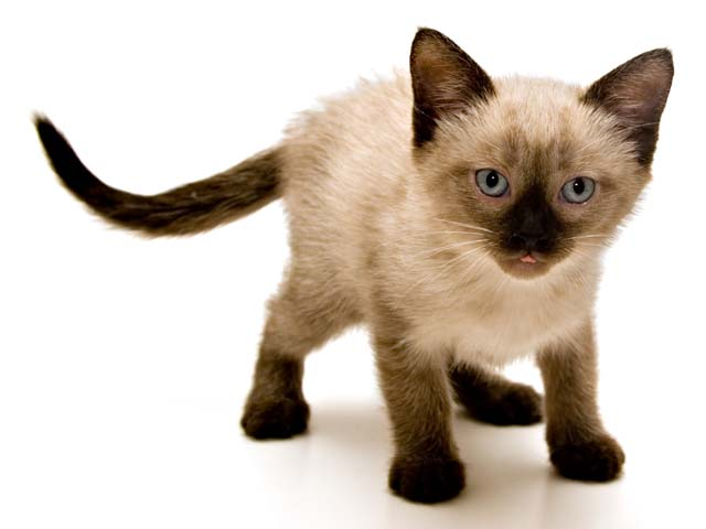 Cat Breed Profile Siamese Vetwest Animal Hospitals