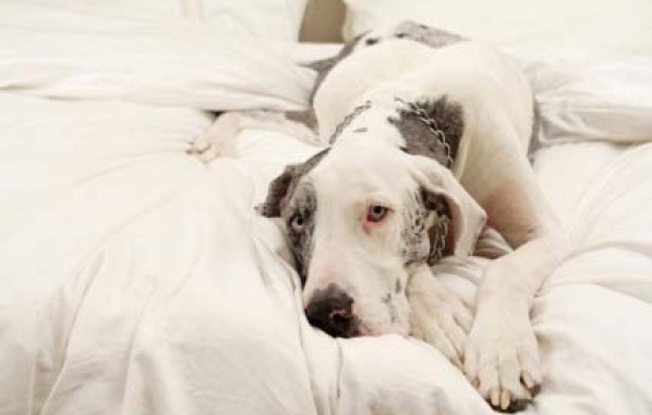 great dane loafing in bed