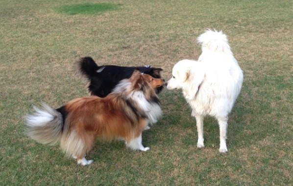 dogs-interacting-in-an-off-lead-dog-park-vetwest-offers-tips-on-how-you-can-make-it-enjoyable-and-also-offers-best-parvo-treatment