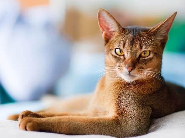 Abyssinian Breed Profile And Information Vetwest