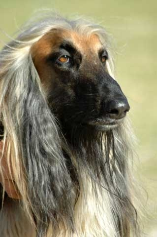 Afghan Hound Long Haired Hound Breed Profile And