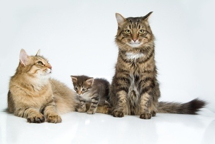 Breed Of Cats What Does It Mean