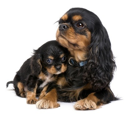 Pregnancy And Your Dogs Vetwest Animal Hospitals
