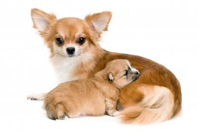 Chihuahua Breed Profile and Information | Vetwest Animal