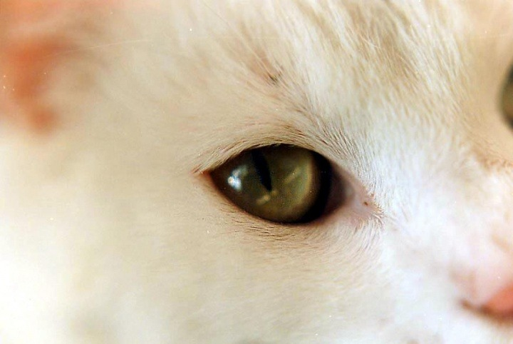 Conjunctivitis In Cats Vetwest Animal Hospitals