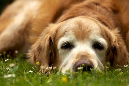 Diabetes In Dogs Vetwest Animal Hospitals