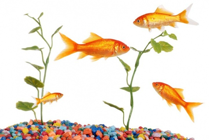 Fish as pets beautiful to look at low maintainence and for Fish as pets