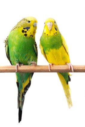 Budgerigar disease prevention program - Aviary Care and