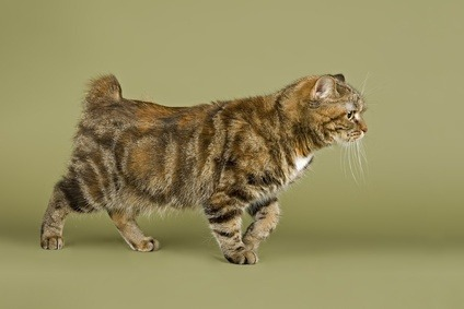 Manx cat breed known for their lack or near-absence of tail