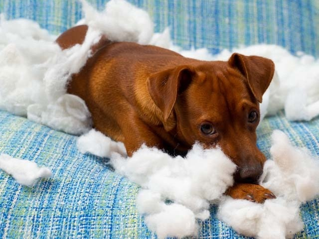 Separation anxiety in dogs can include destructive behaviour when owner is not present