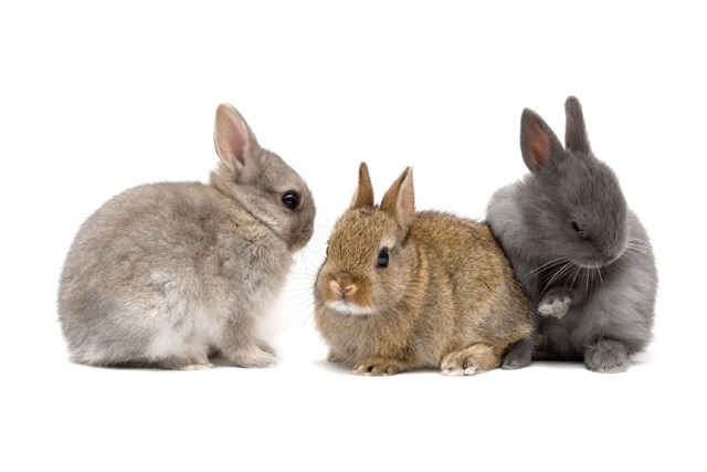 Caring for Rabbits, Guinea Pigs and Ferrets   Vetwest Animal
