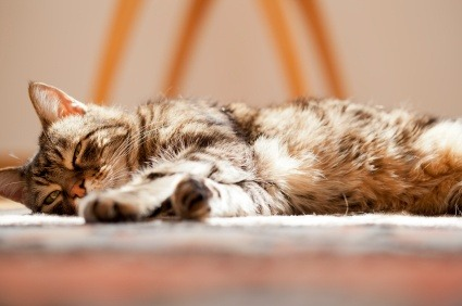 Chronic Kidney Failure In Cats Vetwest Animal Hospitals