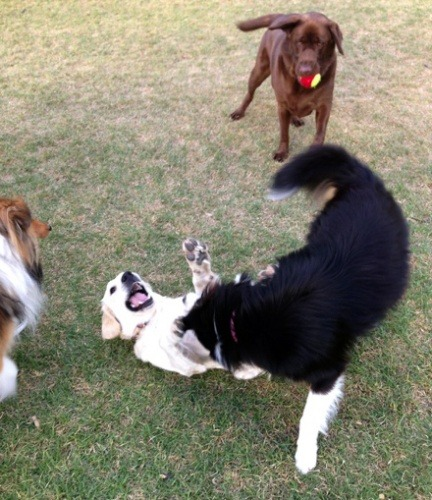 dogs-playing-in-an-off-lead-dog-park
