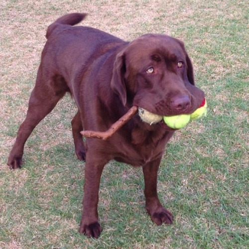 black-labrador-with-three-balls-and-a-stick-in-its-mouth