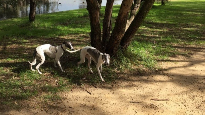 two-whippet-dogs-playing-in-an-off-lead-park