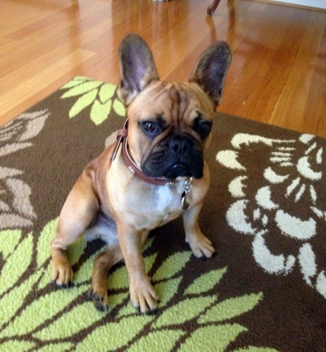 rocky-a-little-french-bulldog
