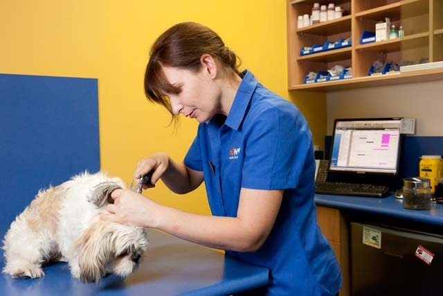vetwest-nurse-checking-a-dogs-ears