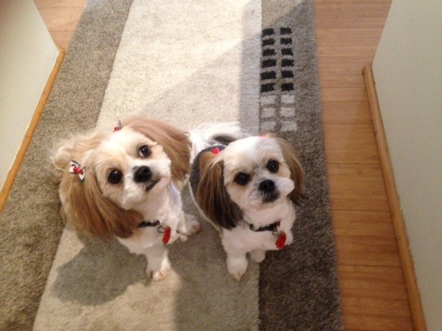 mitzu-and-another-lhasa-apso