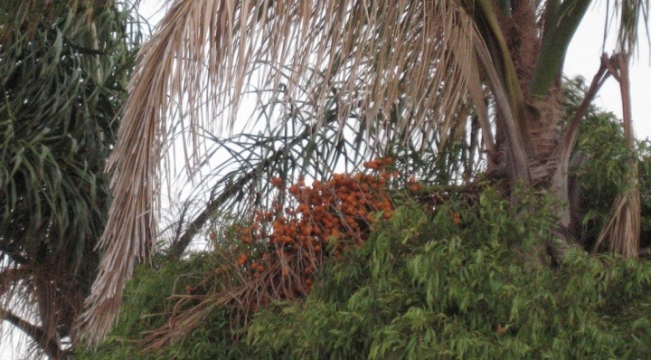 cocos-palm-tree-and-fruits