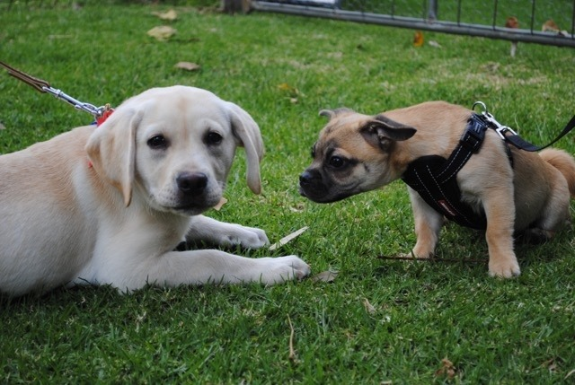 vetwest-armadale-puppy-preschool-graduates-grace-and-pugsley