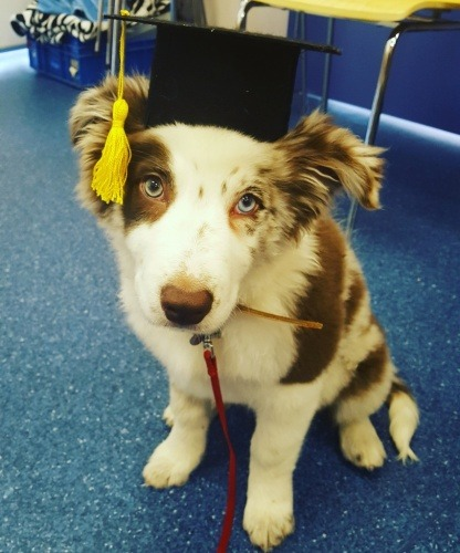 puppy-preschool-graduate-from-vetwest-cockburn