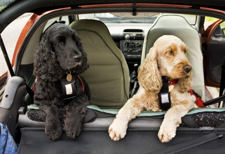 dogs at the back seat