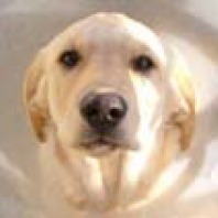 casper-the-golden-labrador-recover-from-his-fracture