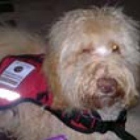 george-the-therapy-dog
