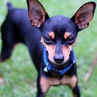 breed miniature pinscher