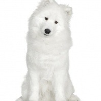 breed samoyed