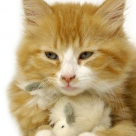 cat ginger playing with toy
