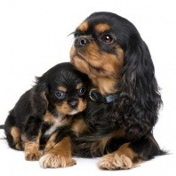 Pregnancy for dogs, canine gestation and giving birth to a litter of