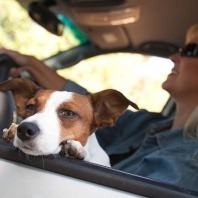 jack russell in car