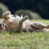 dog rolling on the grass
