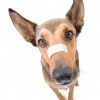 dog with band aid