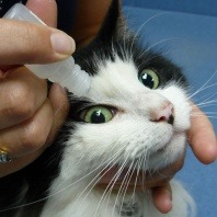 eye drops on cat