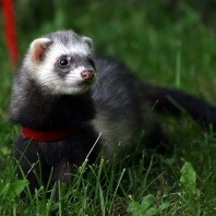 ferret on red lead